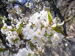 Zur Kirschblüte am Sonnenberg: In der Terrassenlandschaft der Zälg finden sich bei der Ruine ein paar alte, wilde Kirschbäume.:  Zur Kirschblüte am Sonnenberg: In der Terrassenlandschaft der Zälg finden sich bei der Ruine ein paar alte, wilde Kirschbäume.