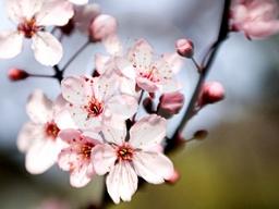 Eine blühende Kirschblüte.: Eine blühende Kirschblüte.