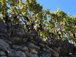 Weinstöcke unterwegs: Weinstöcke unterwegs